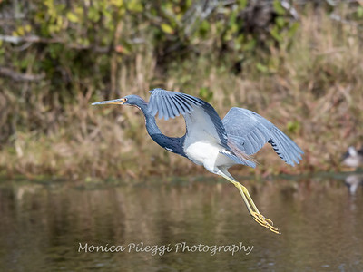 Tricolored Heron Jan 2018-1383