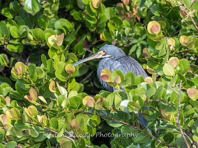 Tricolored Heron Jan 2018-8598