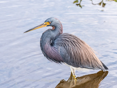 Tricolored Heron Jan 2018-7756