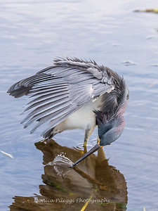 Tricolored Heron Jan 2018-7754