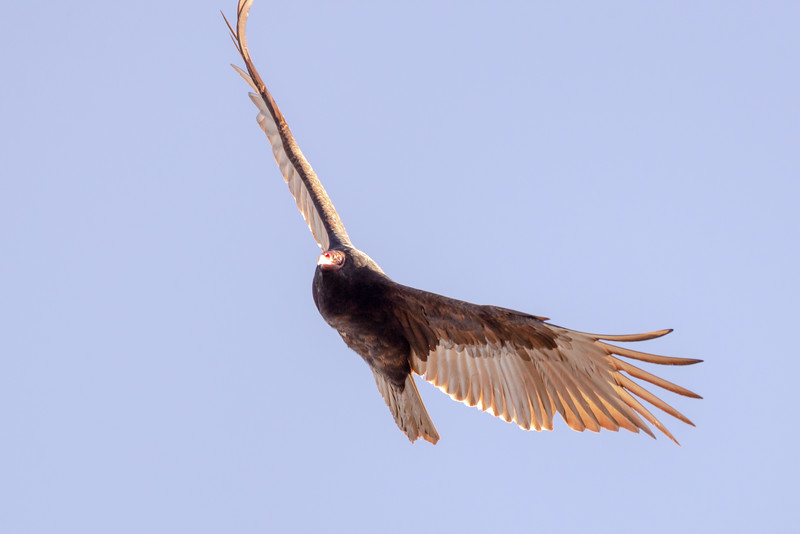 Turley Vulture