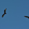 Turkey Vultures at 75th & Switzer, Shawnee, Ks