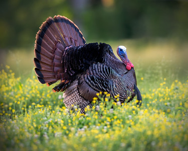 "Eastern Wild ""Tom"" Turkey"