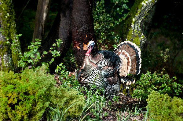 Wild turkeys enjoy the edges of wooded areas where they can sun themselves, but quickly duck into the safety of the forest if disturbed.