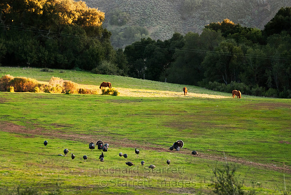 There are about 20 turkeys in the picture, ignored by the horses.
