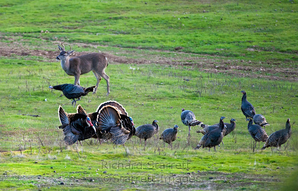The buck is finally chased off by an aggressive hen.
