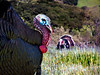 Tom during early spring mating season.  The snood extends past his beak, major caruncles filled with blood.