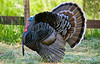 Tom (gobbler) in full display, wing primary feathers on ground, body feathers fluffed, long beard, snood extended well past end of beak, caruncles suffused with blood.