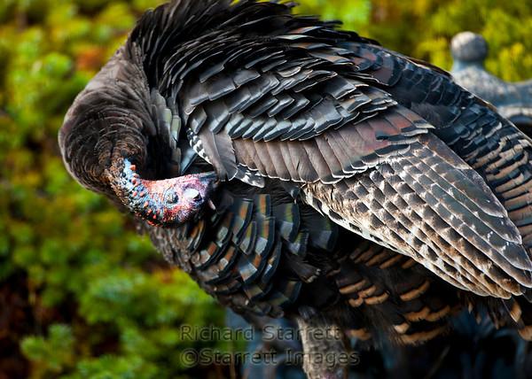 Tom  preening feathers.