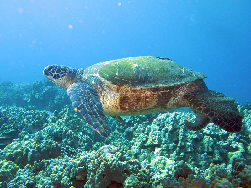Green Turtle (Honu), Chelonia mydas, Kona Coast, Hawaii