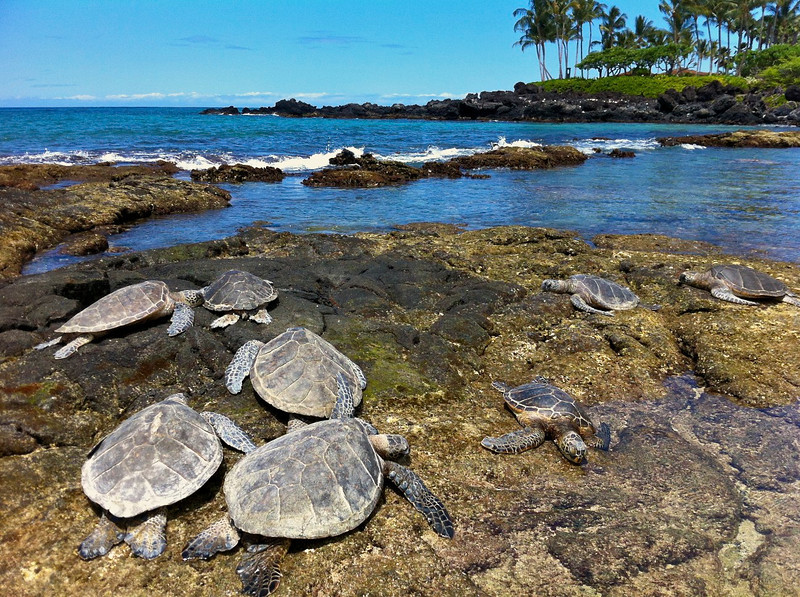Basking Green Turtles (Honu), (Chelonia mydas), Kona Coast, Hawaii