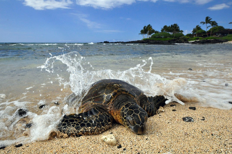 Kuki'o Beach, North Kona, Big Island, Green Turtle (Honu), Chelonia mydas, Kona Coast, Hawaii