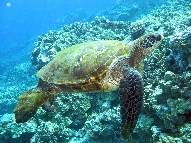Hawaiian Green Sea Turtles, Kona Coast, Big Island, Hawaii. Green Turtle (Honu), Chelonia mydas, Kona Coast, Hawaii