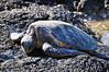 Green Turtle (Honu), Chelonia mydas, Kona Coast, Hawaii Green Turtle (Honu), Chelonia mydas, Kona Coast, Hawaii