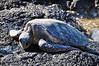 Green Turtle (Honu), Chelonia mydas, Kona Coast, Hawaii Green Turtle (Honu), Chelonia mydas, Kona Coast, Hawaii