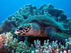 Hawksbill Turtle ('ea Honu 'ea), Eretmochelys imbricata, Kona Coast, Hawaii