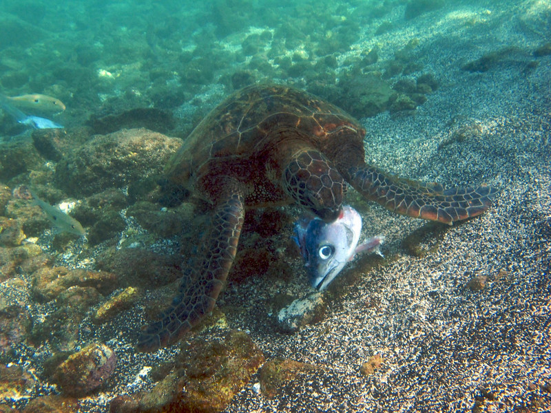 Hawksbill Turtle, Eretmochelys imbricata, Kona Coast, Hawaii