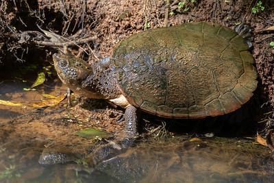 Saw-shelled Turtle (Wollumbinia latisternum) - Yungaburra, Queensland