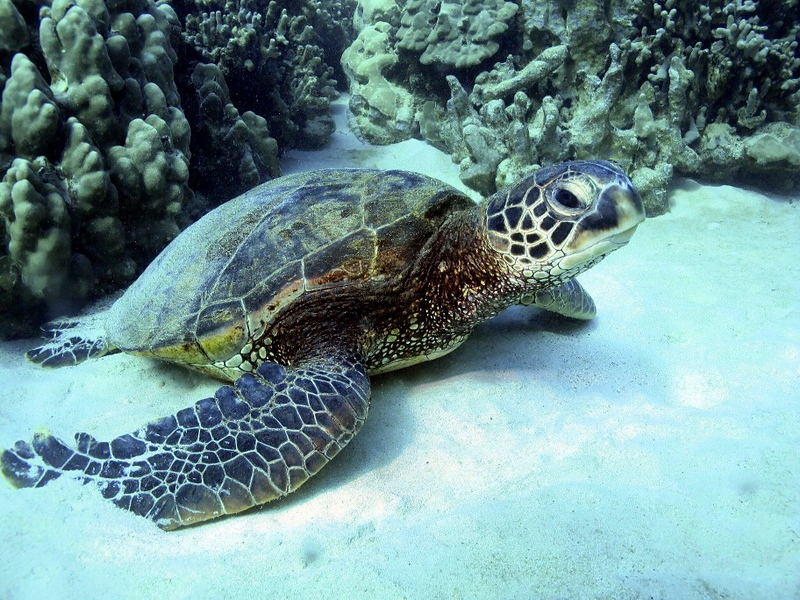 Green Turtle (Honu), Chelonia mydas, Kona Coast, Hawaii