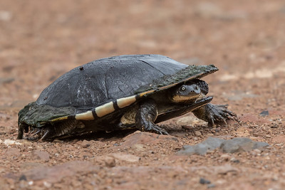 Turtle - Winton Wetlands, Victoria
