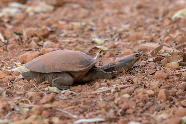 Northern Snake-necked Turtle - Weipa (Cape York), Queensland