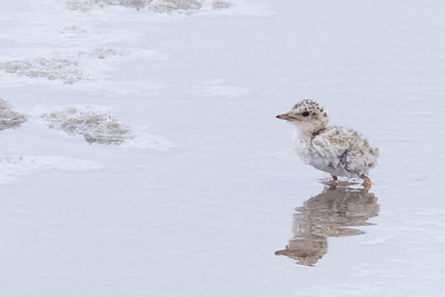 Snowy plover chick wading in pond with salt.