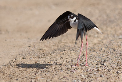 Red Legged Stilt on a South Bay Salt Works levee