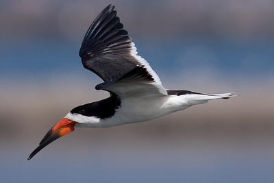 A Black Skimmer visiting the Salt Works to nest and forage. 7/8/2009
