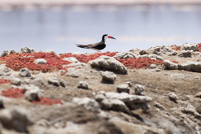 Black Skimmer on a levee at South Bay Salt Works.  This is one of the levees they use for nesting. 7/27/2011
