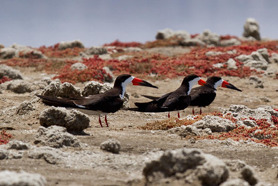 Black Skimmers, South San Diego Bay National Wildlife Refuge, South Bay Salt Works levees
