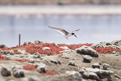 Black Skimmer landing in their nesting area, South Bay Salt Works 7/27/2011