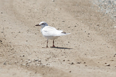 20110803-IMG_7125 Gull Bill Tern on a levee road at South Bay Salt Works.