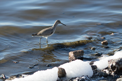 Shorebird in the salt making ponds. South Bay Salt Works, Chula Vista, CA 2/02/2015