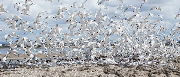 Elegant Tern Colony