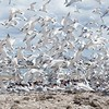 Elegant Tern Colony