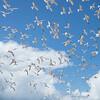 Elegant Terns overhead in South San Diego