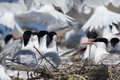 Elegant Terns with the Cormorant nest in foregound