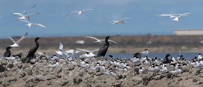 Cormorants nesting within the Elegant Tern nesting colony