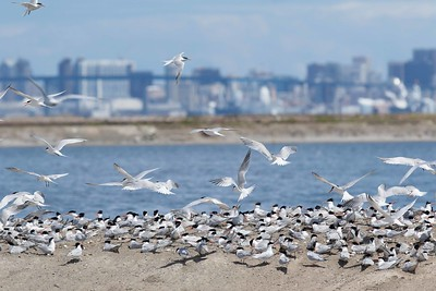 Elegant Tern colony on levee at South Bay Salt Works, with downtown San Diego and Coronado Bridge for the backdrop, about 10 miles north to the highrises, and 9 miles to the bridge