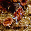 Nudibranch, Channel Islands, CA