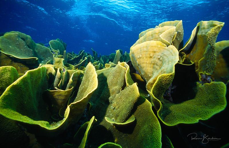Lettuce Leaf Coral, Fiji