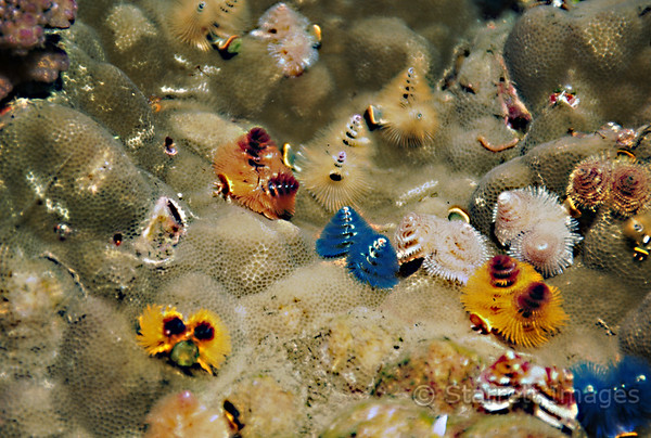 Feather Duster Worm Colony