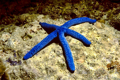 Tropical Starfish
