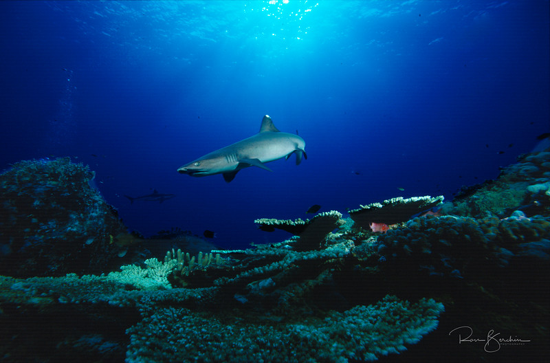 White Tipped reef Shark, PNG