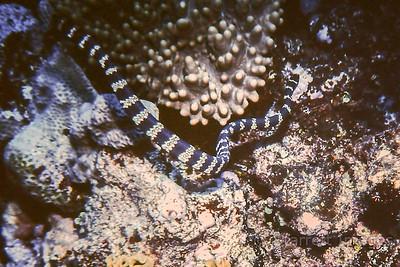 Banded Coral Snake