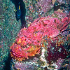 Red Stonefish