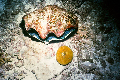 Free Swimming Scallop