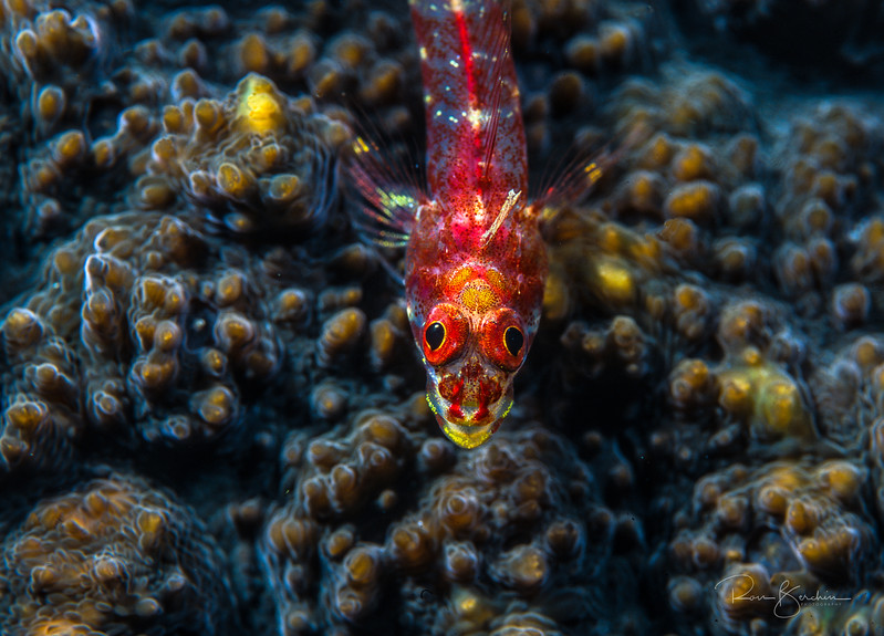 Triplefin on coral, Indonesia