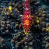 Triplefin on coral, Indonesia