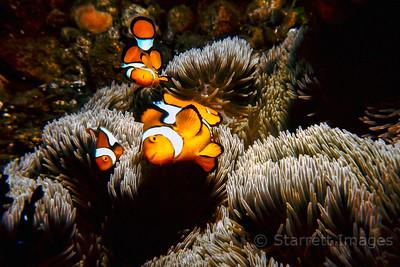 Orange Clownfish